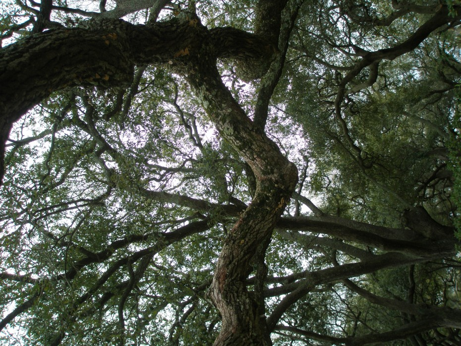 Gazing up into the Canopy of Live Oaks, at White Point Garden.