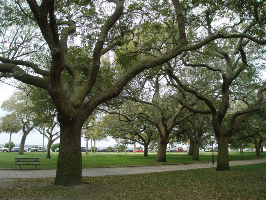 The rain-soaked Live Oaks in White Point Garden. We're looking toward Murray Blvd., which runs alongside the Ashley River.