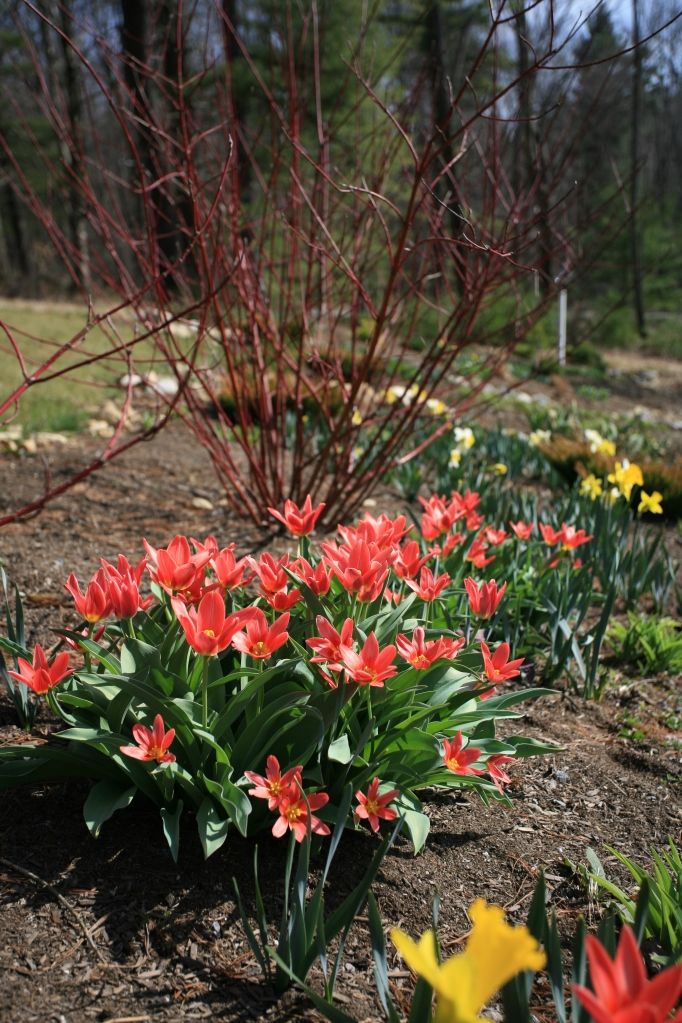 Red species Tulips and Red-Twigged Dogwood