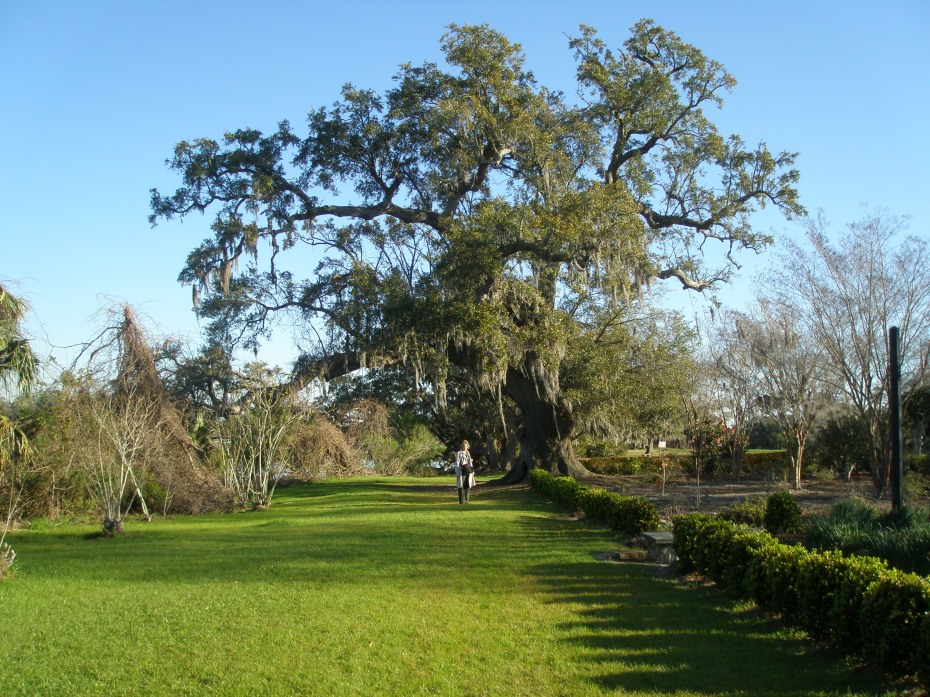 Nan, getting her feet VERY wet in the dew-soaked grass, near an enormous Live Oak tree.