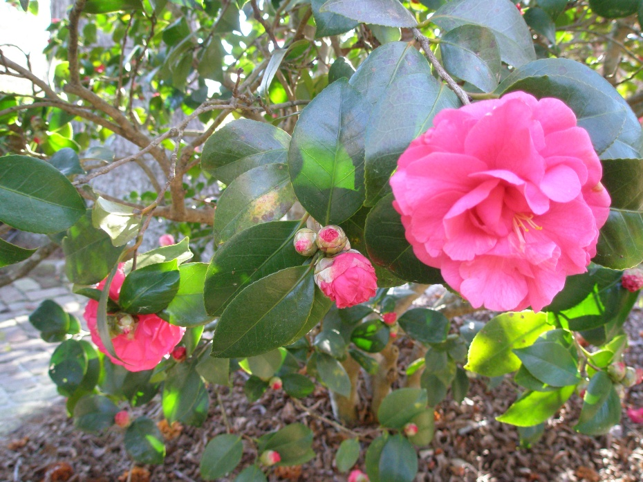 Ravishing Camellias