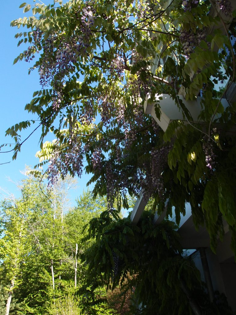 Wisteria cascades from an Arbor