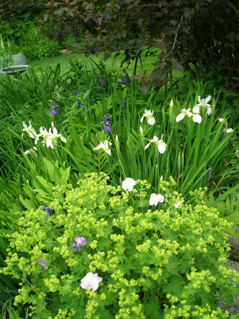 Lady's Mantle and Iris begin to flower