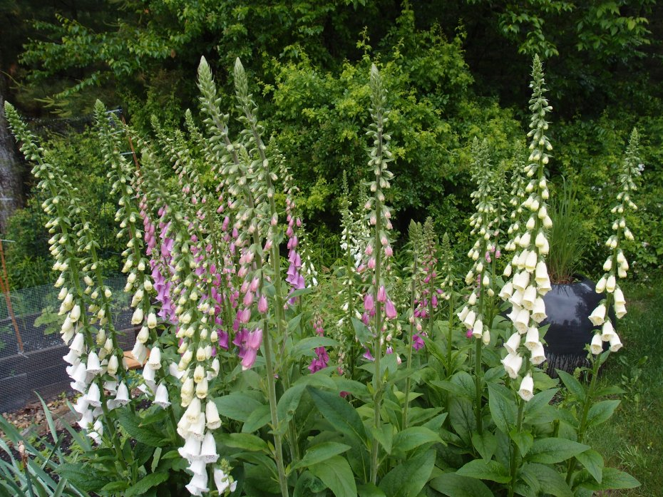 Giant Foxgloves begun from seed in the Spring of 2012 finally bloom