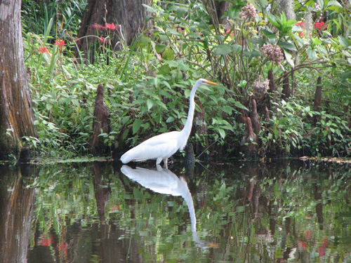 Another photographer's lucky shot: a White Heron in the shallows of Big Cypress Lake.