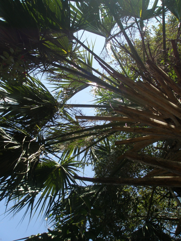 Peering up into Palmetto Fronds