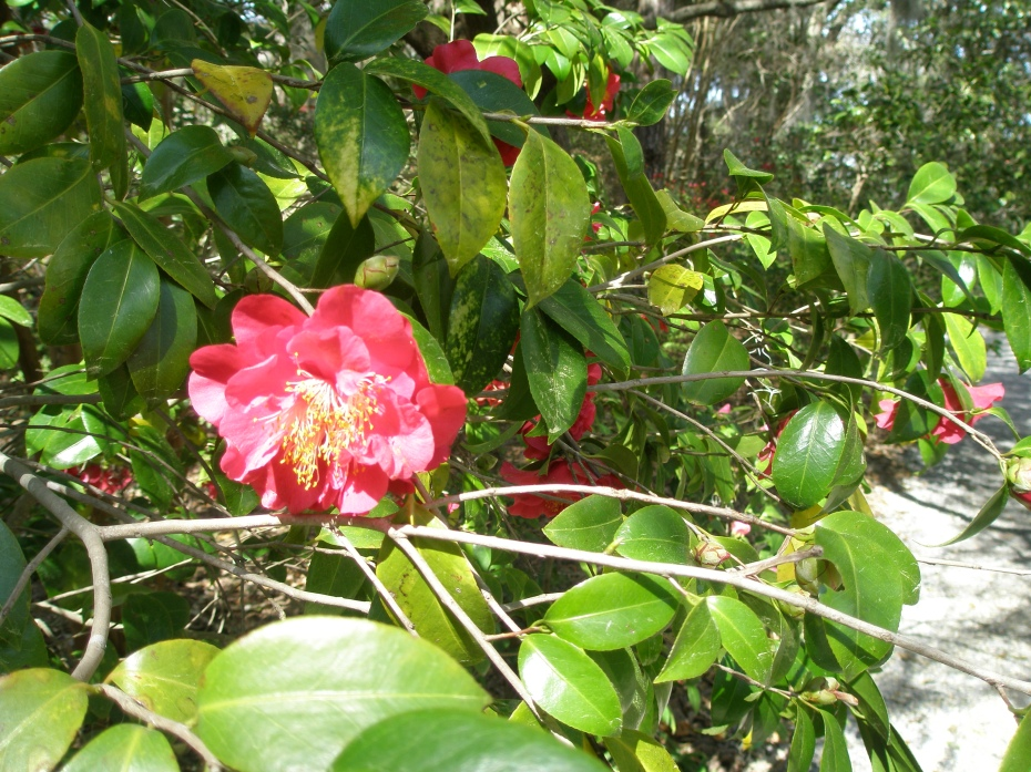 Springtime is when the camellias bloom