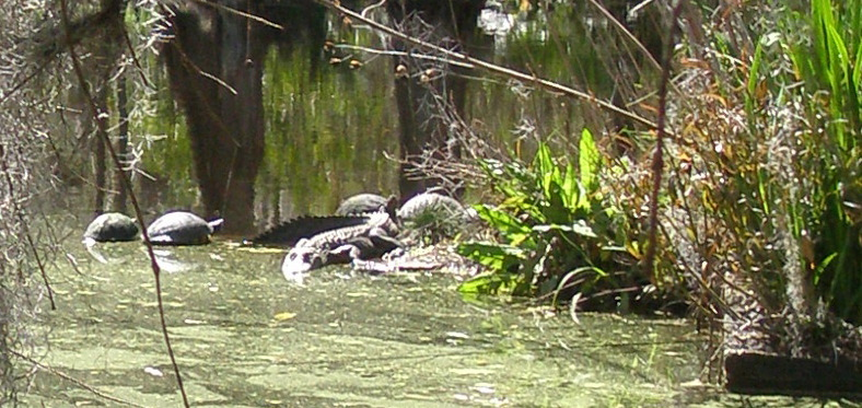 Well as I live and breathe: An Alligator suns himself, while a Gang of Turtles balance themselves upon the Alligator's back.