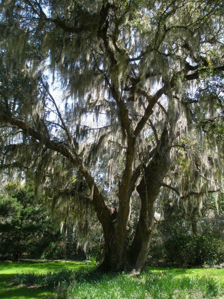 Spanish Moss, swaying in a gentle breeze