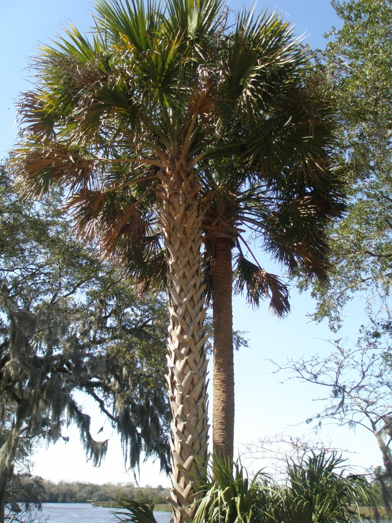 More Palmettos...standing firm against the wind.