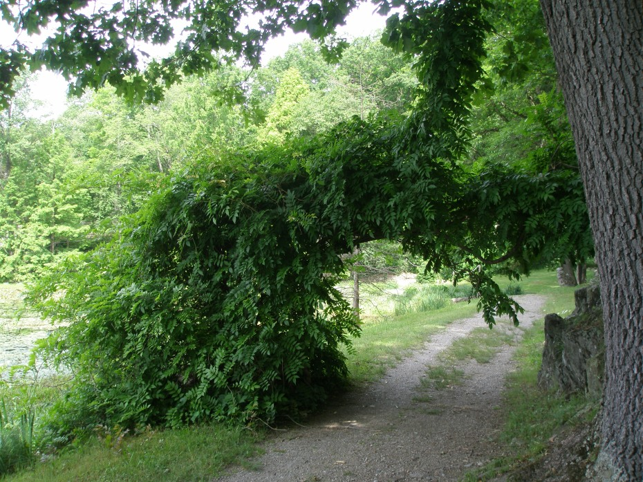 Wisteria Arch on Lakeside Path