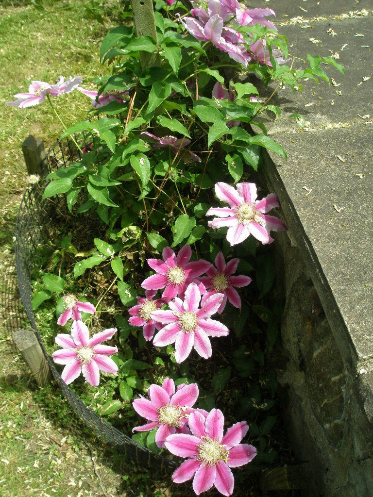 Clematis on the Brick Terrace's lower retaining wall