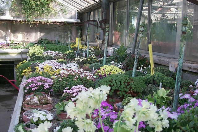 The Primula and Saxifraga collections in full bloom, in the Alpine House. Image courtesy of Stonecrop Gardens.