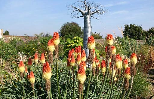 In Africa, orange and yellow spires of Kniphofia uvaria 'Nobilis' are in bloom. Image courtesy of Gardens-Guide.