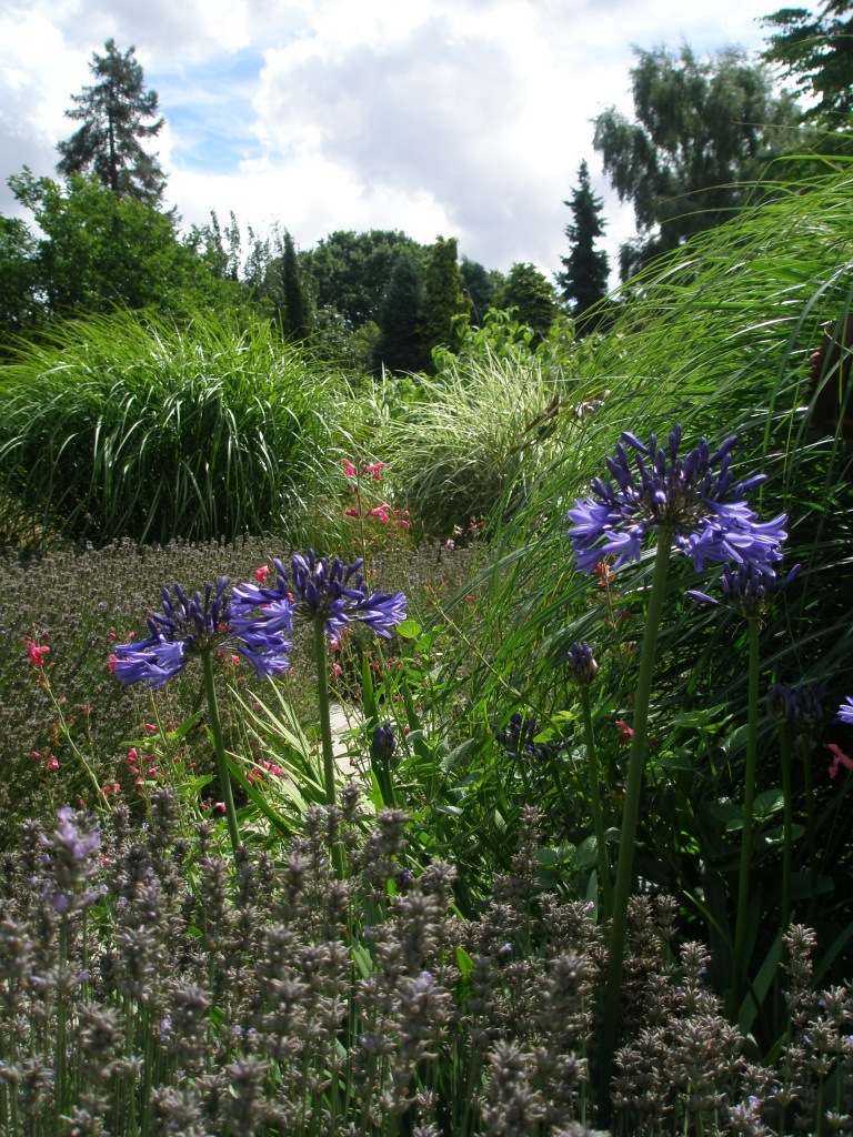 I have Serious Agapanthus-Envy
