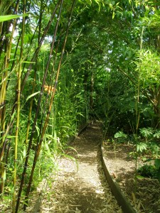 A bamboo grove engulfs the Chusan Fan Palm