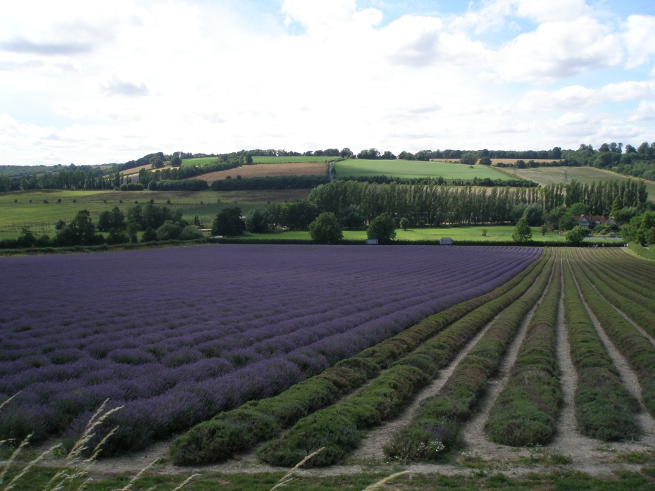 Looking down across the lavender fields at Castle Farm.....SWOON!