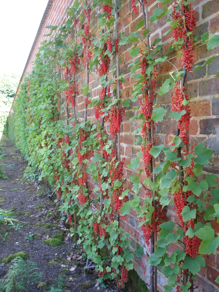 Redcurrants adorn a wall