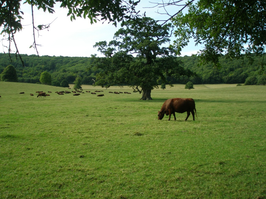 Titsey's Herd of pedigree Sussex cattle enjoys a perfect summer afternoon.