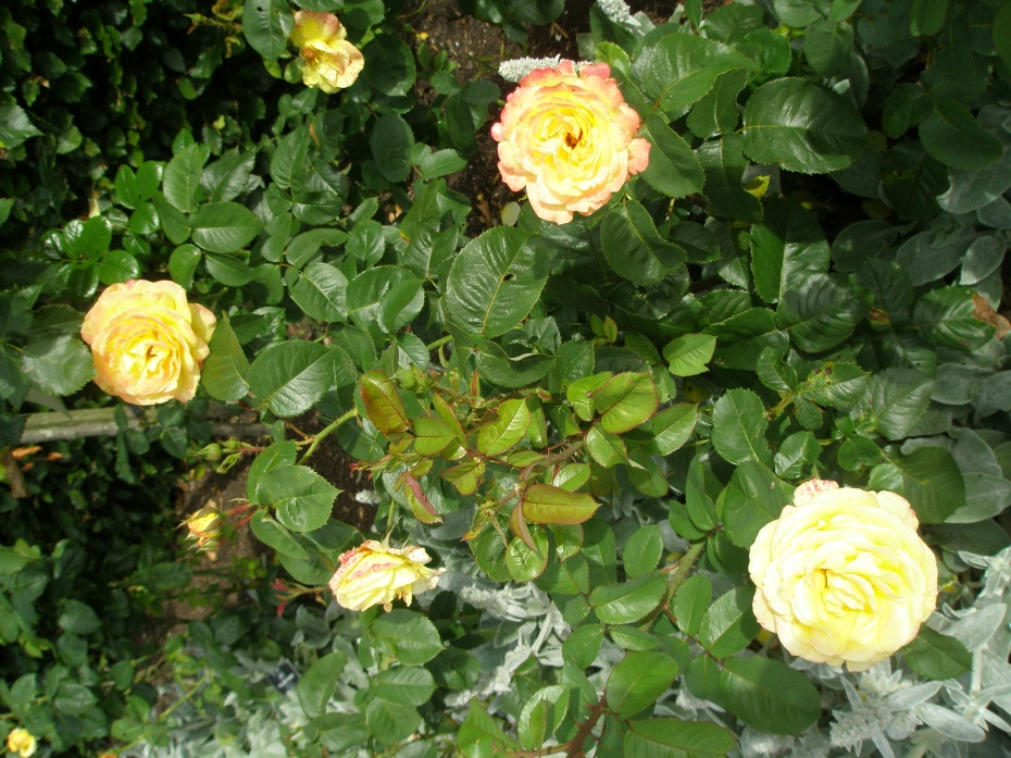 Yellow roses along the Gold Rose Avenue