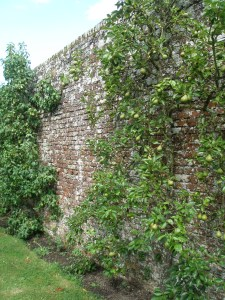 Kent is renowned for its fruit. Here, pears are espaliered against a brick wall.