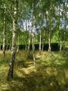 Or perhaps you'd like an entire birch grove? No problem....