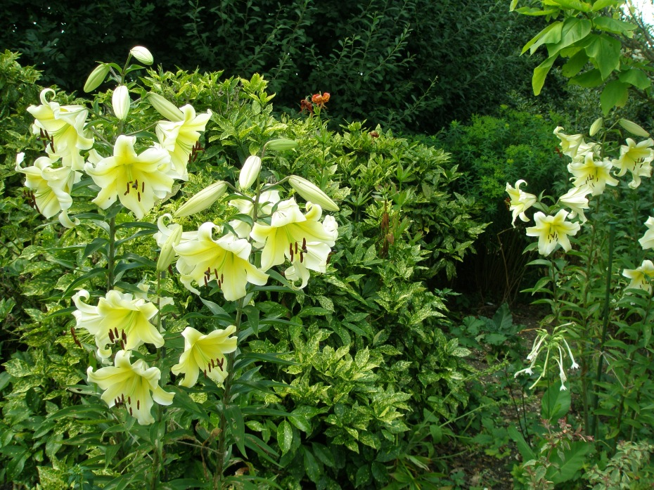 More perfect Lilies