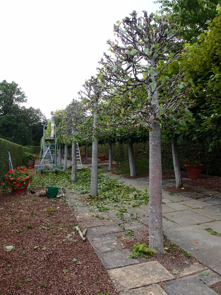 Maintaining the trees on the Lime Walk is a labor-intensive process.