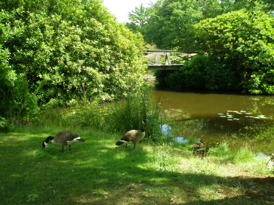 Geese on the Isthmus, with rustic Chinese Bridge.