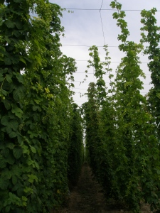 Hop Bines, giving Jack's Beanstalk a run for its money. The Hop Garden at Sandhurst. Hop Bines customarily grow to be 15 feet tall.