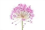 AlliumWatercolor