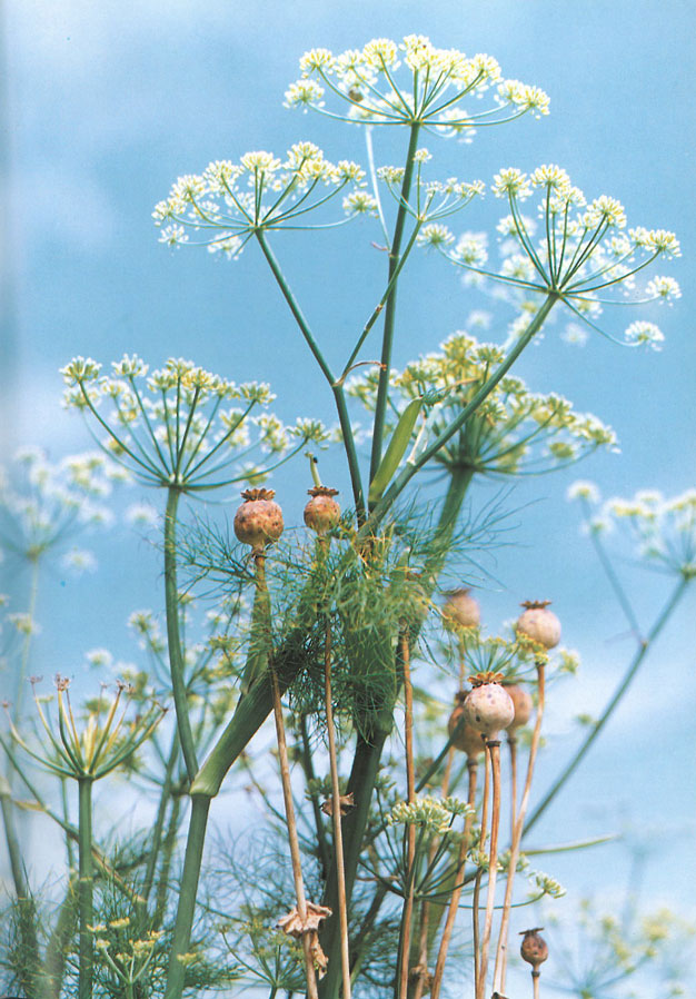 Fennel, and poppy seed heads....two of the things in Jarman's garden which the hoards of hungry rabbits didn't consume. Image courtesy of Estate of Derek Jarman.