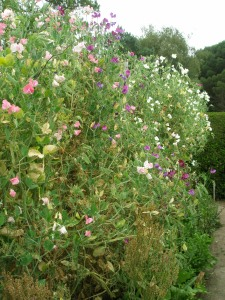 Fragrant sweet peas, in the High Garden.