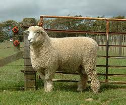 ....yet another bit of English-Sheep-Heaven for Nan! Romney Marsh has its own breed of sheep.