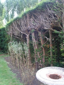 The freshly-pruned back-side of the hedge that encircles the White Garden