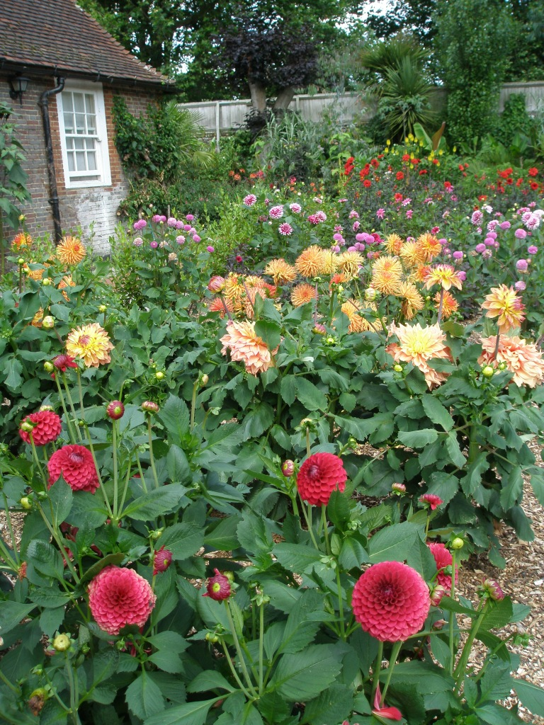 Little did we suspect that the fertile soil under these dahlias would in a few months time be submerged under more than 5 feet of salt water.