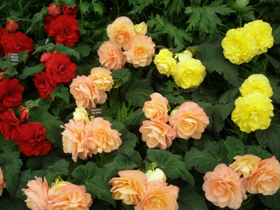 Begonias....showing off.
