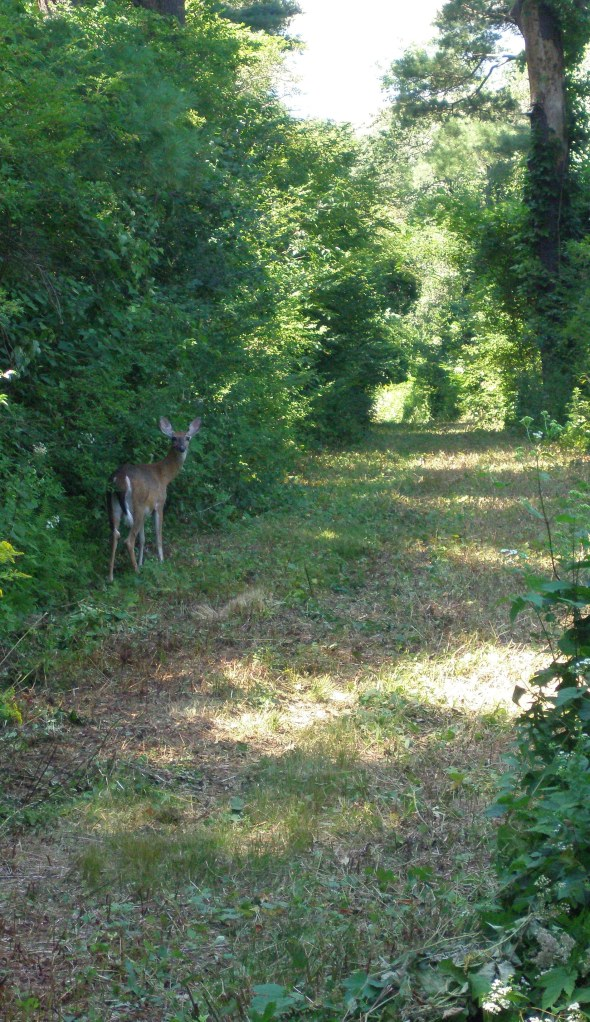 On August 25th, this deer, who had just exited the Rose Garden, politely paused so that I might take her picture. She then scampered down the path, toward Ipswich Harbor.