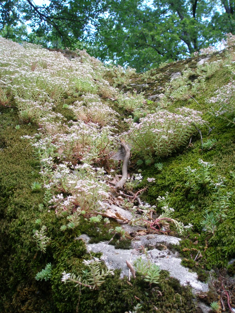 Beautiful, soft Sedum and Moss envelop a tufa boulder