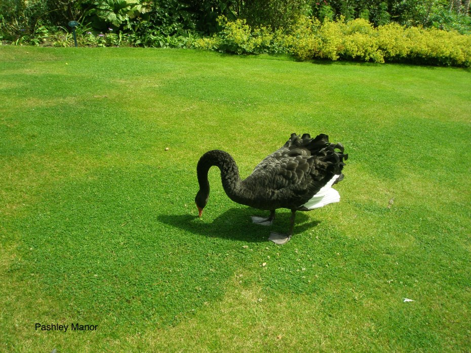Living Sculpture: a black swan on the lakeside lawn.