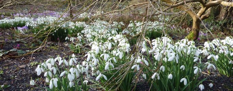 The Bulb Meadow, as spring blossoms arrive: carpets of Snowdrops. Image courtesy of The Garden House.