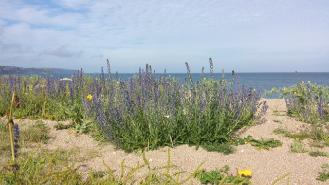 Wildflowers blanket the dunes at Slapton Sands. Photo courtesy of David Guy.