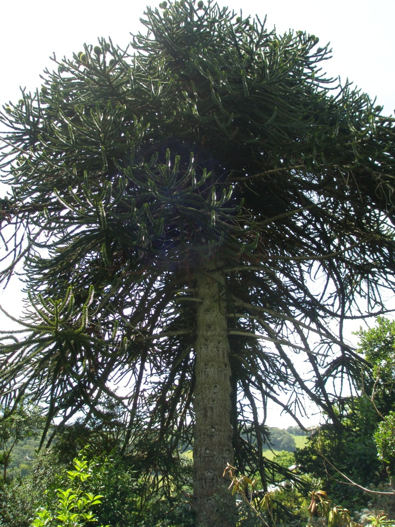 Leaving the Fernery, we found a towering Monkey-Puzzle Tree (aka a Chilean Pine, which can grow to be 130 feet tall).