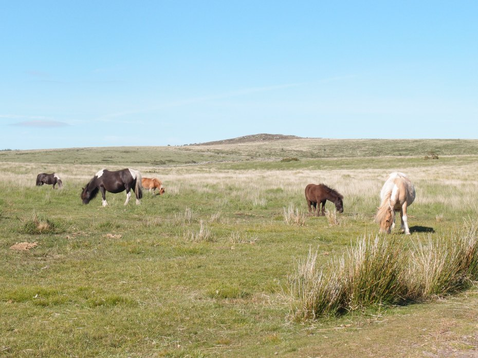 Wild Horses grazing, alongside the road