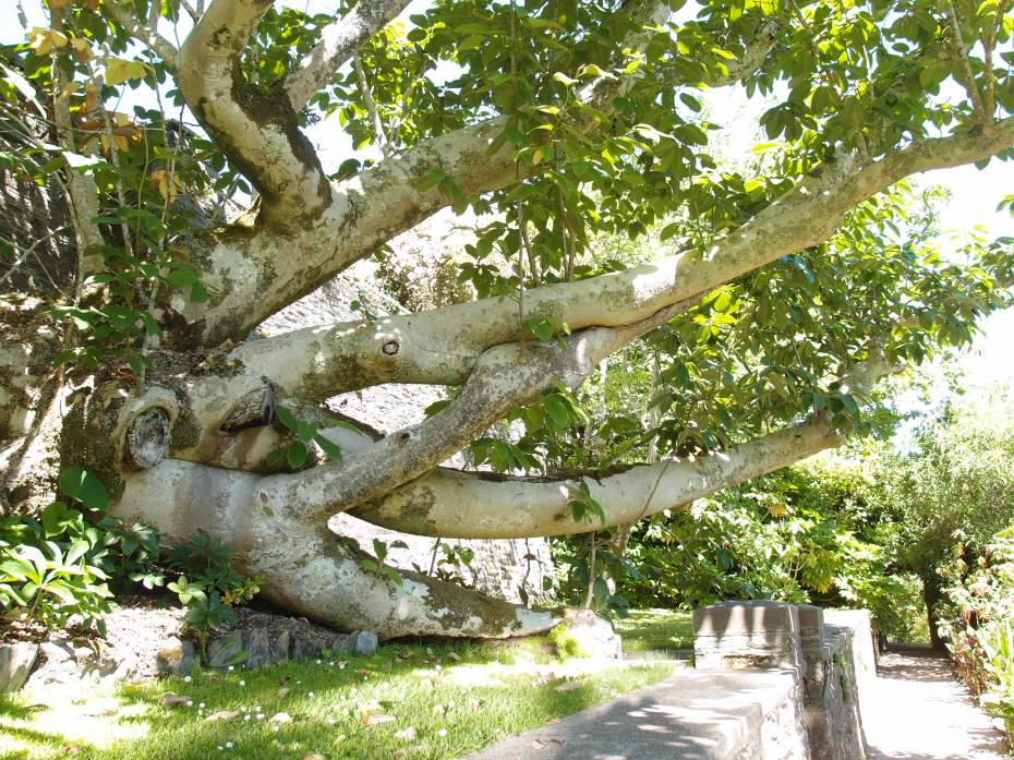 Below the retaining wall of the Statue Garden, a Himilayan Magnolia campbelli grows along the path leading to the Banana Garden. Planted in 1901, the magnolia tipped over in the Winter of 1999 during a heavy rain, but, despite its topsy-turvy situation, the tree continues to show healthy growth.