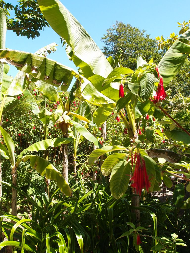 In the Banana Garden: the scarlet blossoms of Earring Flowers (Fuchsia boliviana)
