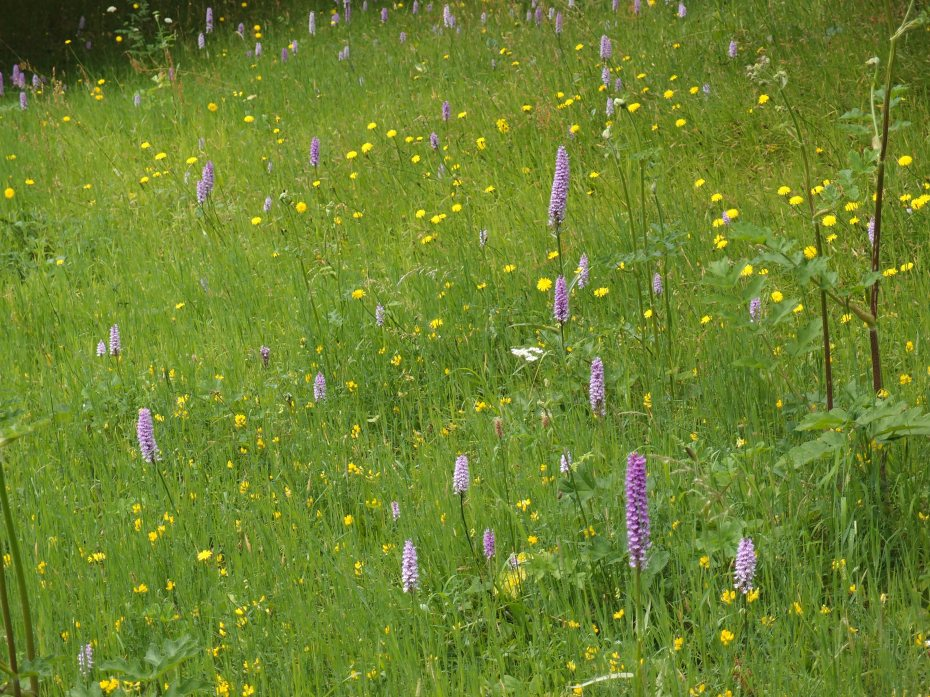 High Meadow, abloom with wild orchids, during my visit in High Summer.
