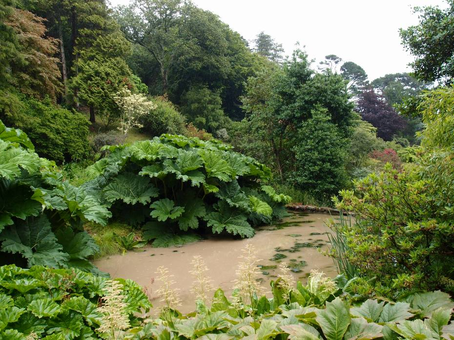 Giant Gunnera plants surround the Lower Pond