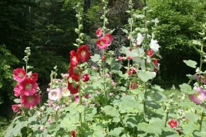 Old-fashioned Hollyhocks, grown from seed